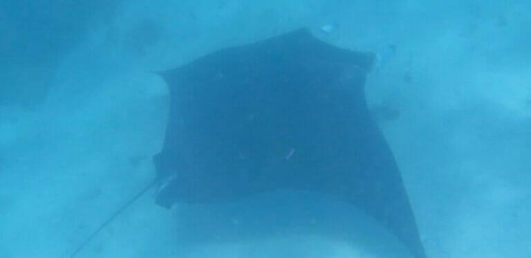 Schwimmen mit Manta Rochen in Coral Bay