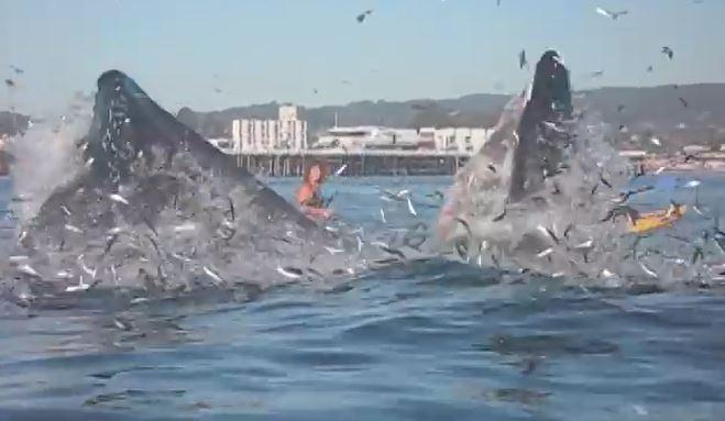 Buckelwal frisst Surferin fast auf