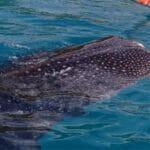 Walhai Philippinen CEBU 2110240 Kopie1