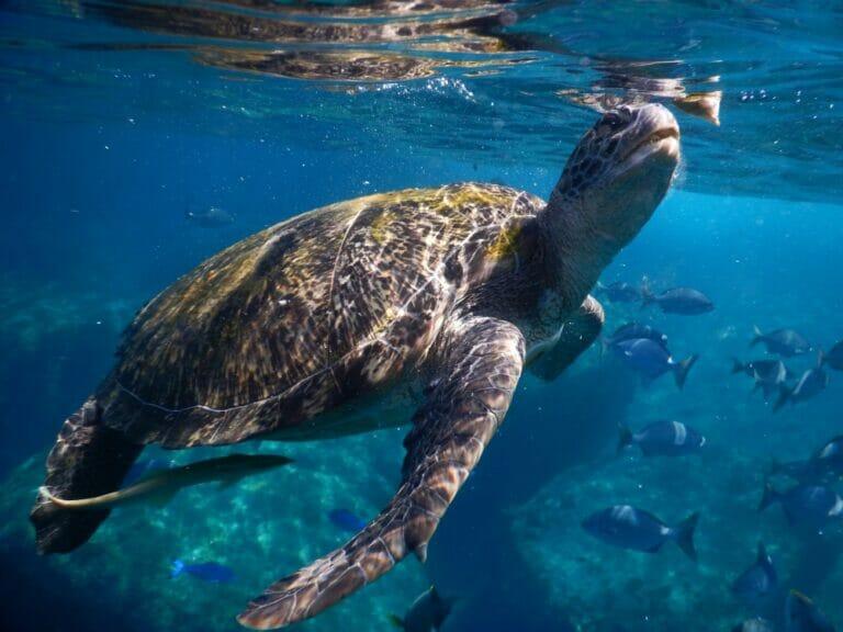 Schnorcheln mit Schildkröten in den Similan Islands (Thailand)