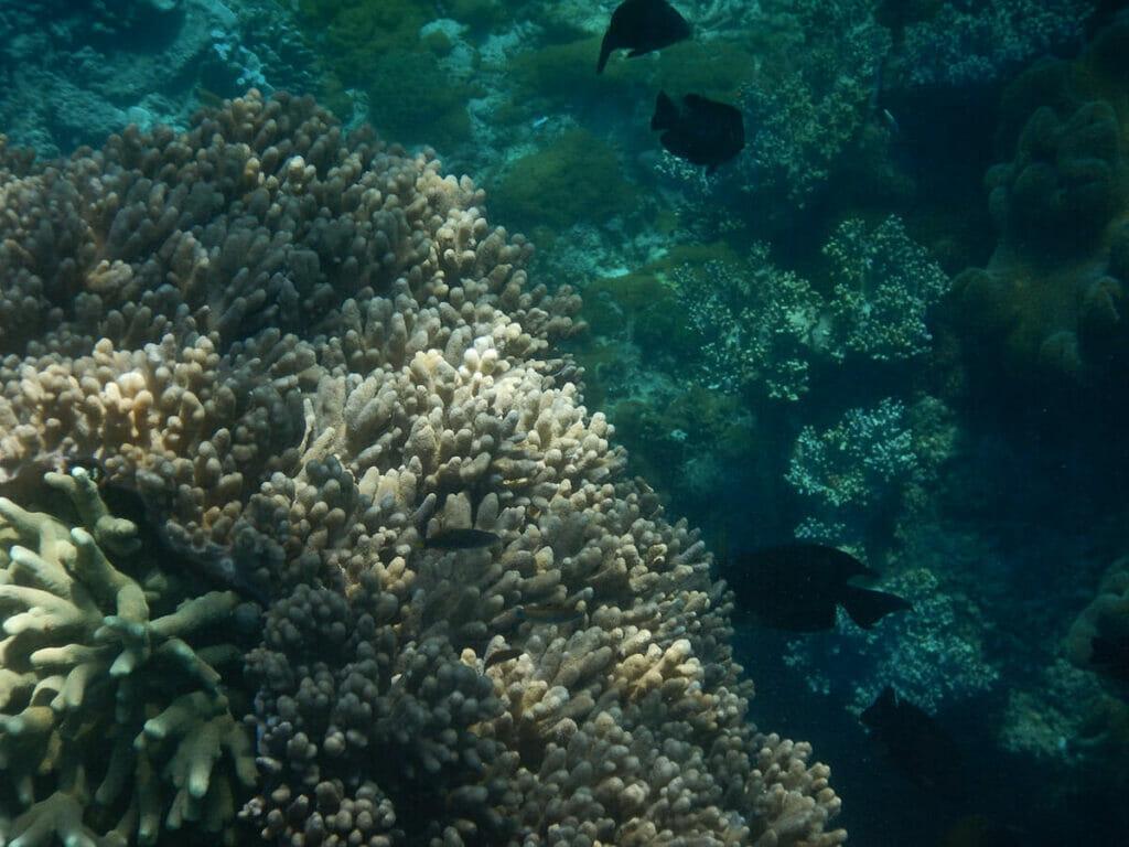 Apo Island Philippinen Koralle