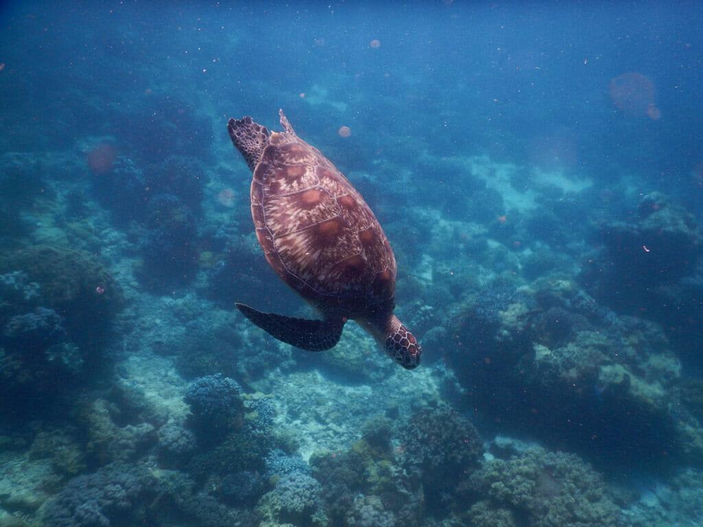 Apo Island Philippinen Schildkroete
