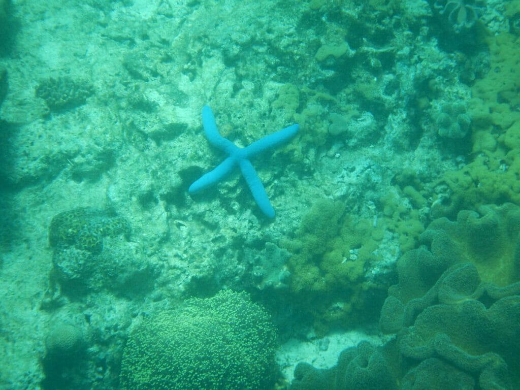 Apo Island Philippinen Seestern