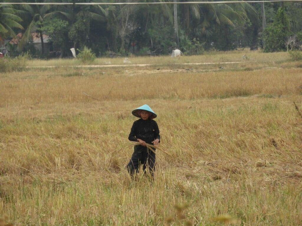 Arbeiten auf dem Reisfeld