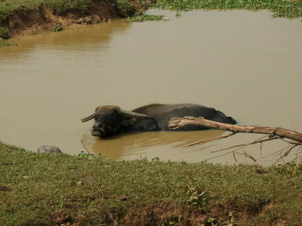 Kampot Wasserbüffel